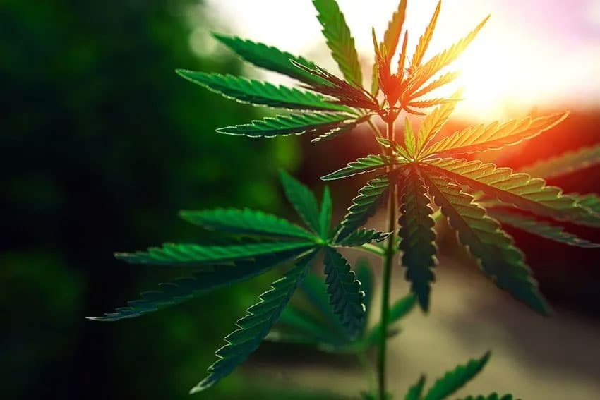 Cannabis plant growing in the sunlight